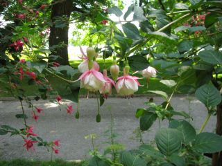 Fuchsienbild Nancy Lou 03